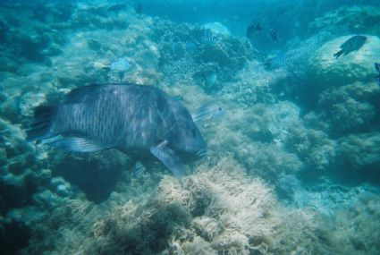 Maori Wrasse and friends