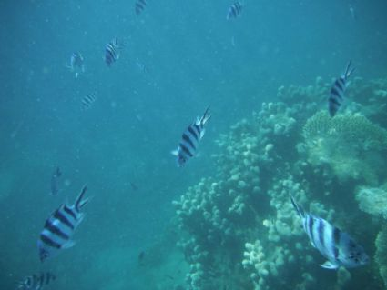 5 Banded Damselfish