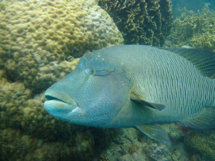 Diving with Napoleon Wrasse