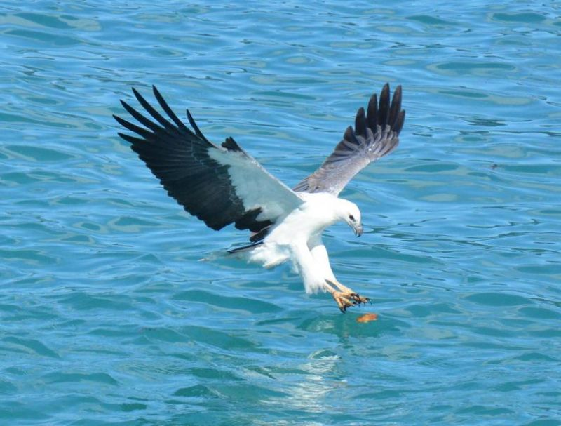 Sea Eagle, Whitsundays