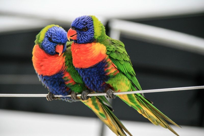 Lorikeets, Whitsundays