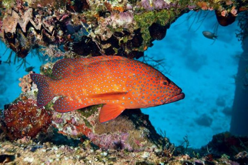 Coral Trout, Whitsundays