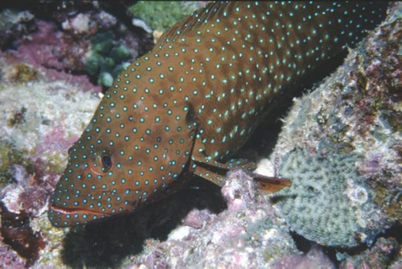 Blue Spotted Rockcod, Whitsundays