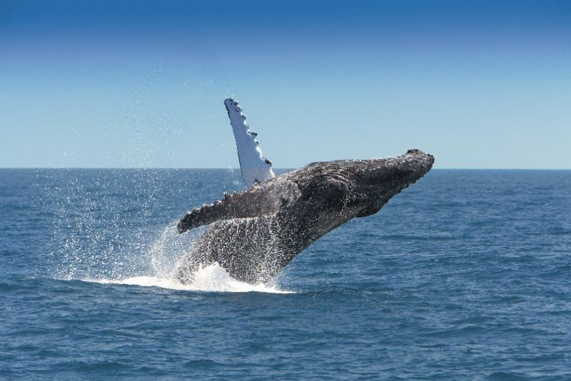 Humpback Whales, Cumberland Charter Yachts